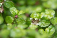 Mind-your-own-business Soleirolia soleirolii flowers Royalty Free Stock Photos