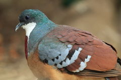 Mindanao bleeding-heart dove Stock Image