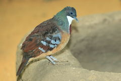 Mindanao bleeding heart dove Stock Photos