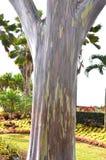 Mindanao Gum Tree (Eucalyptus deglupta) Stock Photos