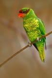 Mindanao lorikeet eller monteringsApo-lorikeet, för johnstoniae för Trichoglossus grön och röd papegojasammanträde, i filialen, b Royaltyfri Foto