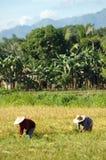 Mindanao, paesaggio di Ricefield, tempo di raccolta Immagine Stock Libera da Diritti
