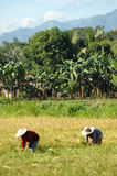 Mindanao, Ricefield Landschaft, Erntezeit Lizenzfreies Stockbild