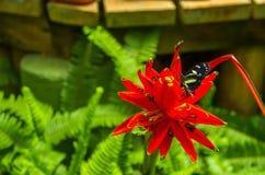 Mindo在厄瓜多尔,看见一些美丽的蝴蝶的一个完善的斑点,摆在一朵美丽的红色花舔 免版税库存照片