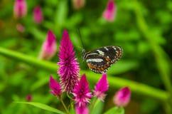 Mindo在厄瓜多尔,看见一些美丽的蝴蝶,棕色和橙色翼的一个完善的斑点摆在一朵五颜六色的花 库存照片