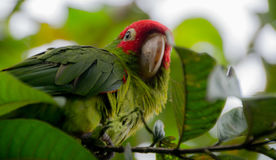 Mindo-Papagei Stockbilder