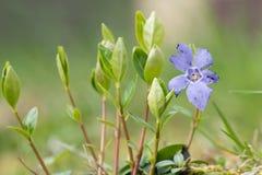 Mindre blomma för ofullbordad vinca arkivfoto