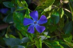 Mindre blomma för Vinca Closeupvintergröna, vårblåttblomma Arkivbild
