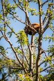 Mindre röd panda - Ailurusfulgens Royaltyfri Fotografi