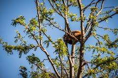 Mindre röd panda - Ailurusfulgens Royaltyfria Bilder