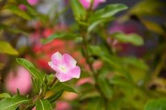 Mindre rosa färgblomma för Vinca Arkivbilder