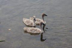 Mindre stum Swan (Cygnusoloren) arkivbilder