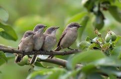 Mindre whitethroatvuxen människa och unga fågelungar tillsammans royaltyfri foto