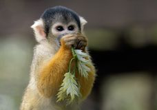 This is mine. Squirrel monkey with some leaves Stock Images