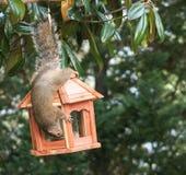 Mine all mine  - squirrel Stock Image