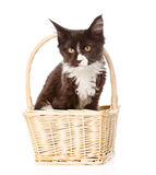 Mine Coon cat in basket looking at camera.  on white Royalty Free Stock Photos