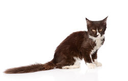 Mine Coon cat  with long tail looking at the camera.  Royalty Free Stock Image