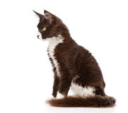 Mine Coon cat sitting in profile. isolated on white background.  royalty free stock photos