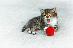 Mine Coon kitten playing. Little kitten playing with ball of wool Royalty Free Stock Photos