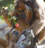 Mine. This cute little ape wanted to steal his mothers rose. This image protrays the love and emtional bond that animals, especilay monkeys have for one another Stock Photography