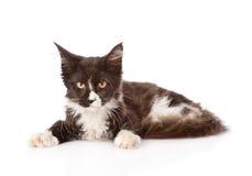 Mine el gato de mapache que se acuesta y que mira la cámara Aislado en blanco Foto de archivo libre de regalías