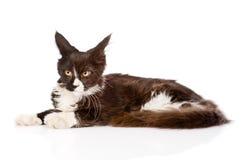 Mine el gato de mapache que se acuesta y que mira lejos Aislado en blanco Imágenes de archivo libres de regalías