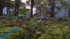 Mine Zielone ?liczne flance na skale w Japonia g?rze zdjęcie royalty free
