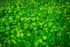Miner's Lettuce in bloom. Miner's Lettuce (Claytonia perfoliata) growing in a field at the Guadalupe Oak Grove Park in the Almaden area of San Jose, California royalty free stock photos
