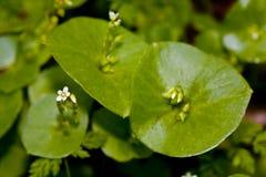 Miner's Lettuce, Claytonia perfoliata Royalty Free Stock Photos