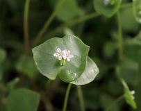 Miner`s Lettuce, Winter Purslane ,Claytonia perfoliata . You can use them in fresh vegetable salads. The Winter Purslane. Miner`s Lettuce, Winter Purslane stock image