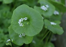 Miner`s Lettuce, Winter Purslane ,Claytonia perfoliata . You can use them in fresh vegetable salads. The Winter Purslane. Miner`s Lettuce, Winter Purslane stock photography