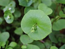 Miner`s Lettuce, Winter Purslane ,Claytonia perfoliata . You can use them in fresh vegetable salads. The Winter Purslane. Miner`s Lettuce, Winter Purslane royalty free stock photos