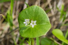 Miner`s Lettuce, Winter Purslane or Indian Lettuce Claytonia perfoliata, California royalty free stock image