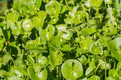 Miner`s Lettuce, Winter Purslane or Indian Lettuce Claytonia perfoliata growing on a meadow, California stock photography