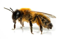 Mineração-abelha fêmea Foto de Stock Royalty Free