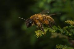 Mineração-abelha fêmea de Andrena Fotografia de Stock Royalty Free