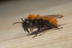 Mineração-abelha fêmea de Tawnt Fotos de Stock