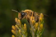 Mineração-abelha masculina de Andrena na flor Fotografia de Stock Royalty Free
