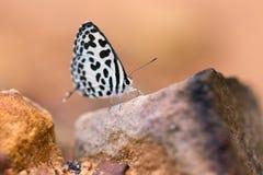 Mineral comido da borboleta quaker comum na areia Fotos de Stock