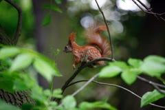 Minerale metallifero dello scoiattolo Immagini Stock