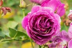 Minerva rose