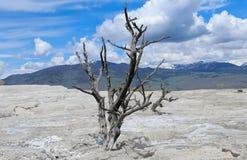 Minerva terrass med det döda bobbysockaträdet på den Mammoth Hot Springs Yellowstone nationalparken Arkivfoton