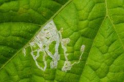 Mineur de feuille sur le concombre Image libre de droits