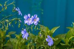 Mineur de Vinca que peu de bigorneau fleurit, bigorneau commun en fleur, fleurs ornementales de rampement, cinq têtes de fleur Image stock
