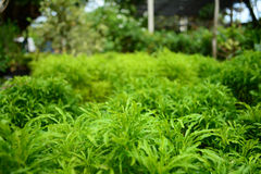 Ming aralia. Is plant Stock Photos