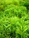 Ming aralia. Is plant Stock Image