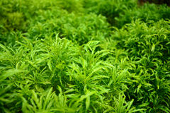 Ming aralia. Is plant Royalty Free Stock Photography