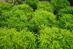 Ming aralia. Is plant Royalty Free Stock Images