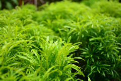 Ming aralia. Is plant Stock Photography