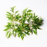 Ming aralia (Polyscias fruticosa Harms.) Royalty Free Stock Images